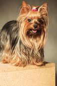foto of yorkshire terrier  - small adorable yorkshire terrier puppy dog standing on a wooden box with copy space under it - JPG