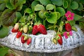 picture of strawberry plant  - Beautiful strawberry plant with red flowers in the vintage pot - JPG