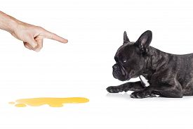 picture of urinate  - french bulldog dog being punished for urinate or pee at home by his owner isolated on white background - JPG