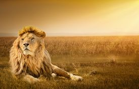 stock photo of lion  - Big male lion lying on the grass - JPG
