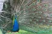 Peacock With Tail Around Head