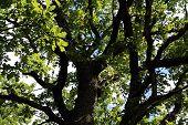 grote eiken in zomer hout