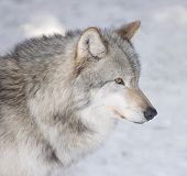 Timber Wolf Portrait