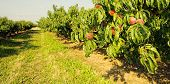 Row of fruit trees.  Ripen peaches in Italy