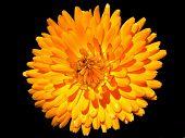 Pot Marigold Flower On Black Background