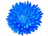 Blue Abstract Pot Marigold Flower On White Background