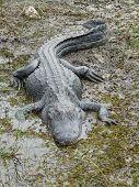 American Alligator - 9