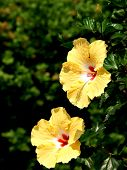 Two Yellow Hibiscus Flowers