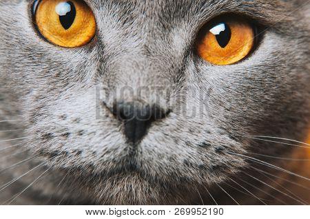 poster of Grey Gray Cat Yellow Eyes Macro Photo. Cat Face Close Up. British Fold.
