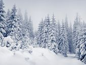 stock photo of snow forest  - Trees covered with hoarfrost and snow in mountains - JPG