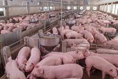 Curious Pigs In Pig Breeding Farm In Swine Business In Tidy And Clean Indoor Housing Farm, With Pig  poster