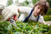 gardener cutting a bush
