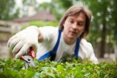 stock photo of cutting trees  - Gardener cutting a bush - JPG