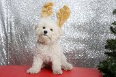 Purebred Bichon Frise dog. Bichon Frise wears Christmas Antlers against a silver sequin background.  poster