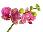 Pink orchid on the white background