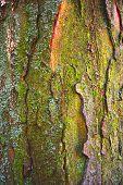 Tree Bark Texture. Tree Bark Texture Full Frame In Nature. Texture Shot Of Brown Tree Bark, Filling  poster