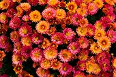Many Beautiful Small Bright Orange-red Flowers. Botany. poster