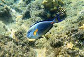 Surgeonfish in red sea