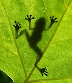 stock photo of prince charming  - Frog shadow on the leaf - JPG
