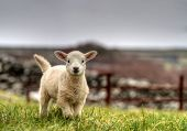 picture of spring lambs  - Young lamb on the farm - JPG