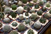 Background. On The Surface Of The Table Are Many Small Cacti Planted In Small Pots. Cropped Shot, Cl poster