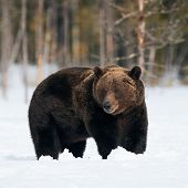 Big Brown Bear Photographed In Late Winter While Walking In Snow In The Finnish Taiga poster