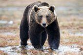 Wild Brown Bear Walking In The Taiga In Late Winter poster