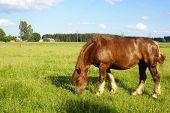 Sokolsky Horse (Poland)
