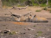 Rhinos bathing in mud