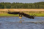 The White-tailed Eagle, Haliaeetus Albicilla Is Flying In Autumn Color Environment Of Wildlife. Also poster