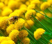 stock photo of yellow flower  - Bee on a little yellow flower - JPG