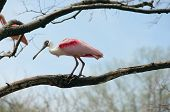 Spoonbill Bird On A Limb