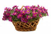 Picture of the basket of flowers on a white background