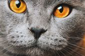 Grey Gray Cat Yellow Eyes Macro Photo. Cat Face Close Up. British Fold. poster