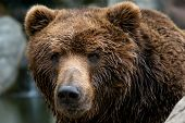 Front View Of Brown Bear. Portrait Of Kamchatka Bear (ursus Arctos Beringianus) poster