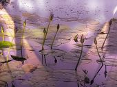 Light-filled Lotus Flowers