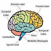 picture of cerebrum  - vector illustrating the human brain sections with text - JPG