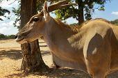 Kanna Antelope