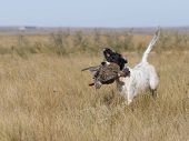 stock photo of english setter  - English Setter With Grouse in North Dakota - JPG
