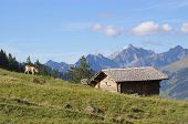 Cows grazing in Swiss Alps