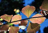 Colorful Autumn Dogwood Leaves