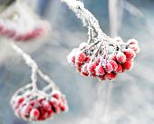 foto of rowan berry  - Bunch of rowan berries with ice crystals on blue cold sky - JPG