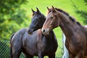 stock photo of black horse  - Two horses standing on green background - JPG
