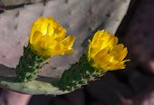 Yellow Flowers On A Tropical Cactus.