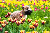 Running Dog On  Tulips