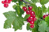 Red Currant With Green Leaves Close Up