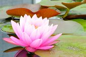 pic of ponds  - pink lotus flower on river in thailand - JPG