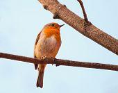 Erithacus Rubecula Bird