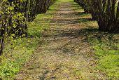Avenida del árbol de Hazel en primavera