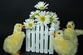 Darling Duckies